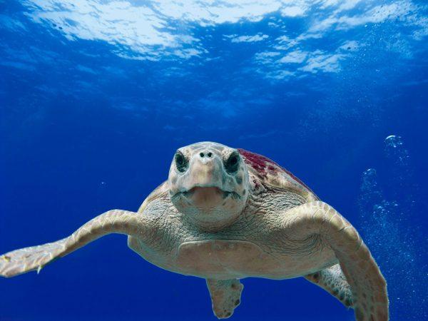 anna maria island sea turtle nesting season