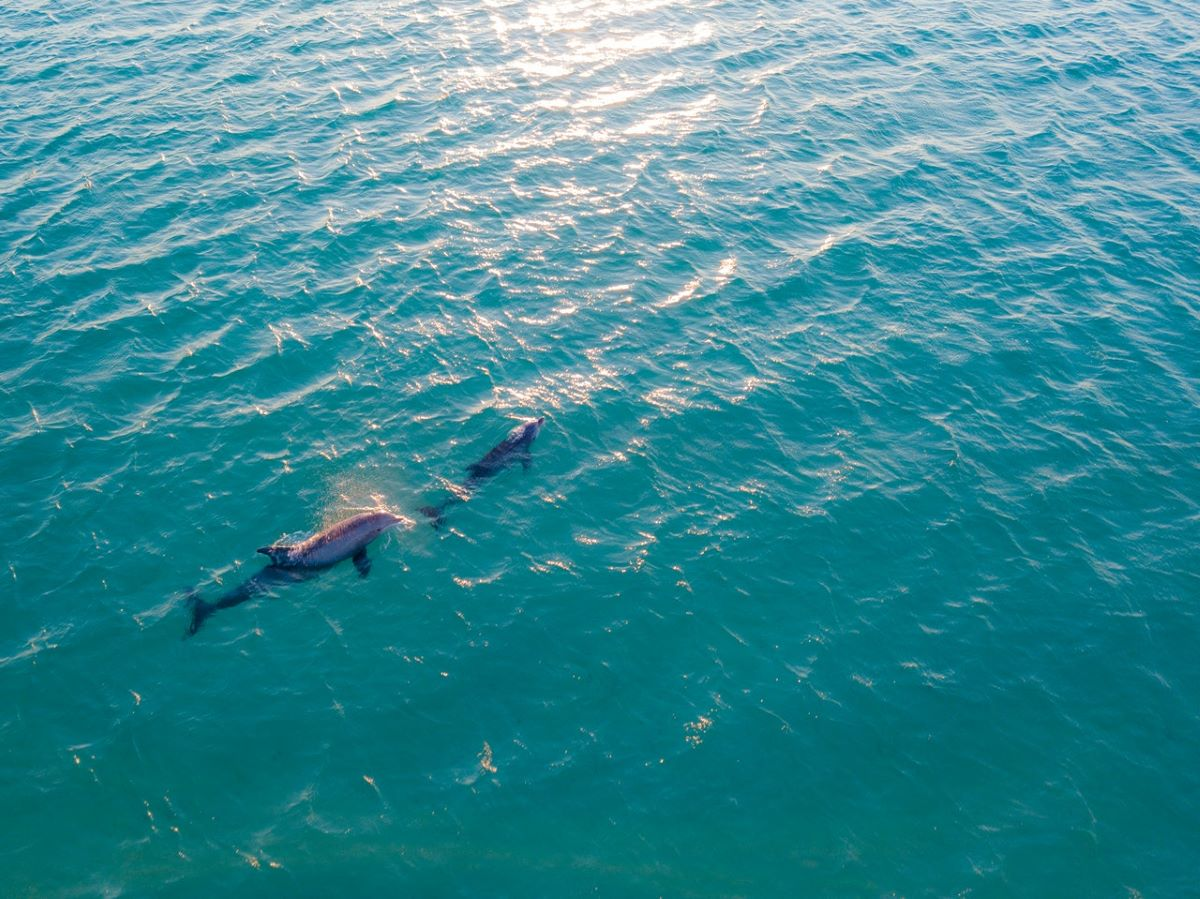 dolphins swimming in water