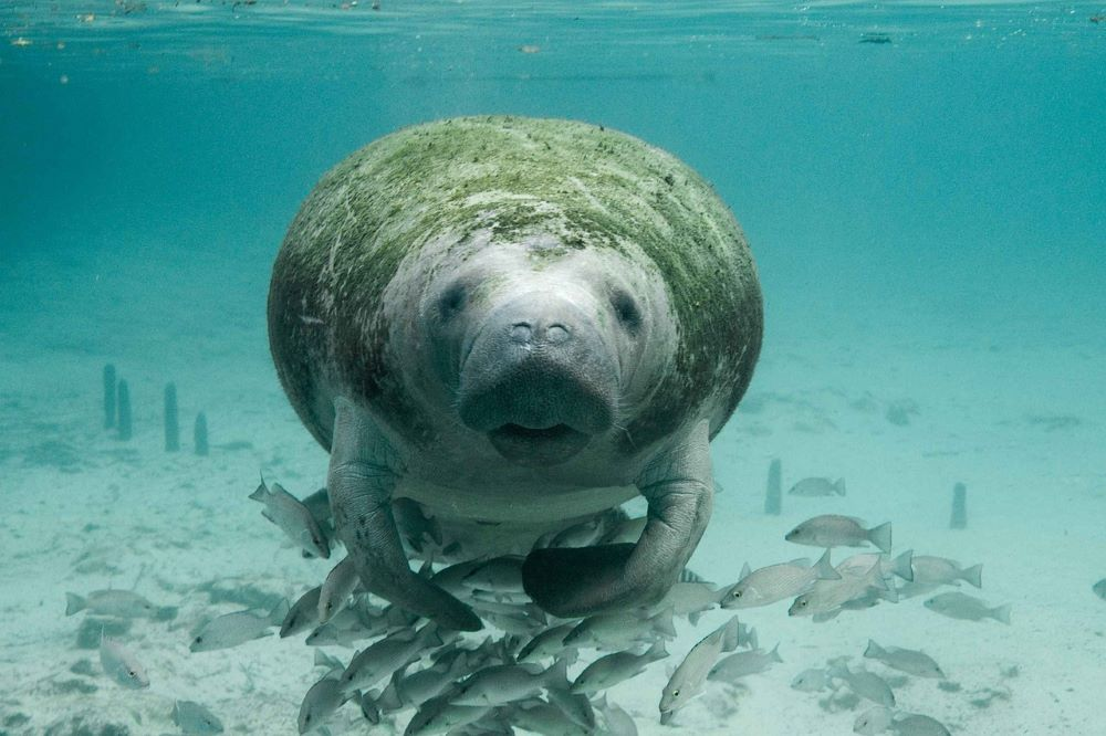 manatee in water